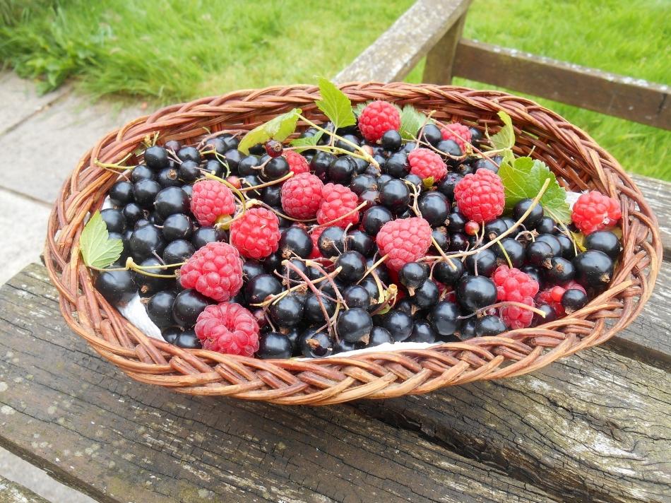 Les petits fruits en libre cueillette